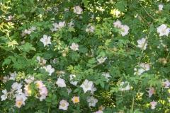 Wilde rozen langs de weg