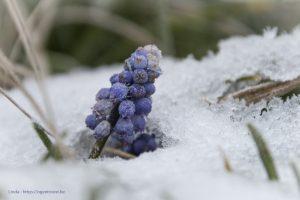 Druifhyacint in de sneeuw