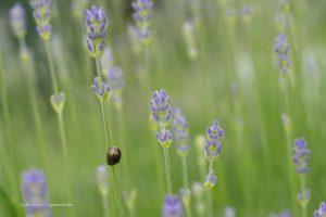 Rozemarijngoudhaantje op lavendel