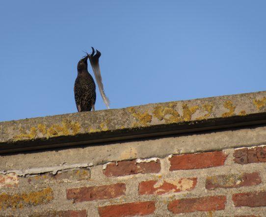 spreeuw bouwt nest